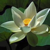 "The ""Blossoming Lotus."" Photo source: fitpregnancy.com, shutterstock.com"